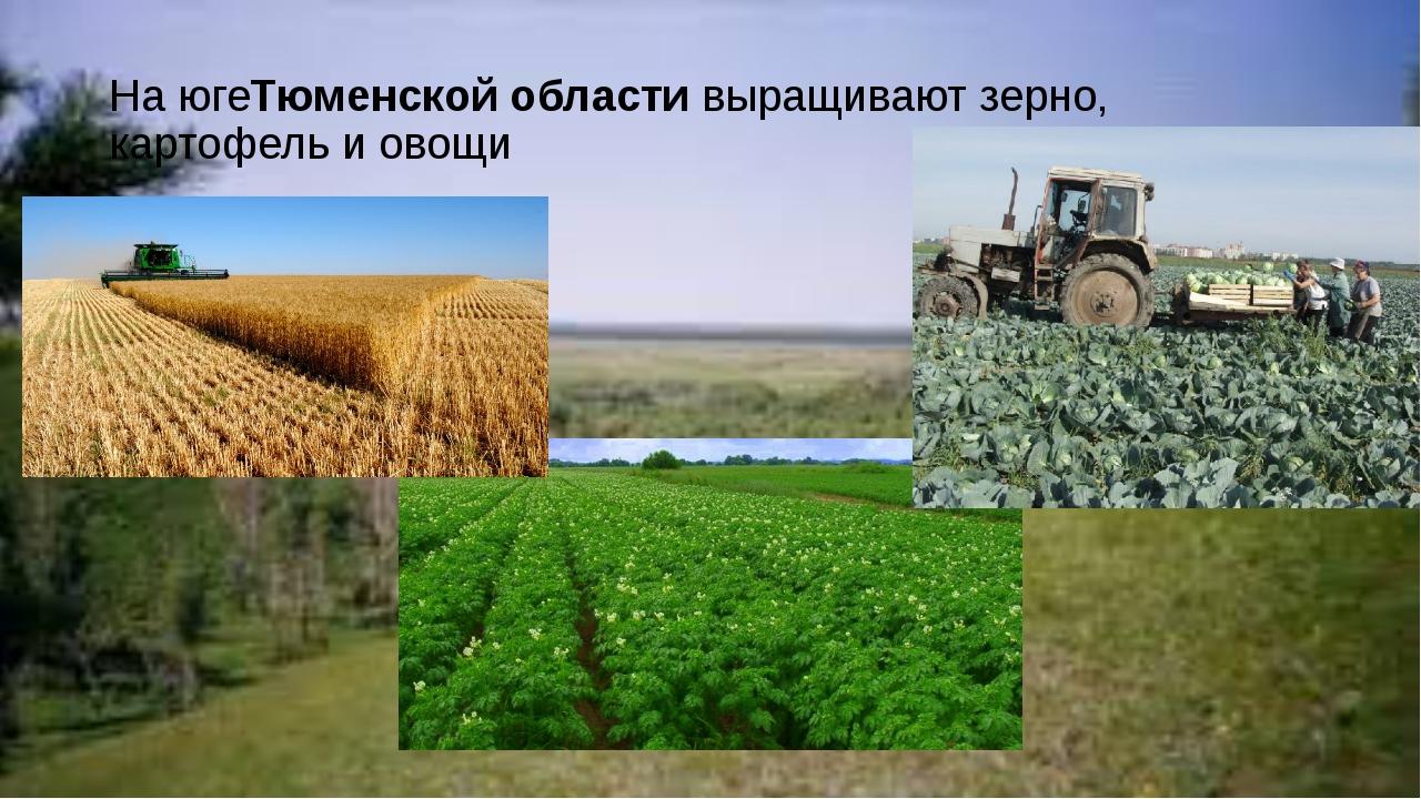 На югеТюменской областивыращивают зерно, картофель и овощи