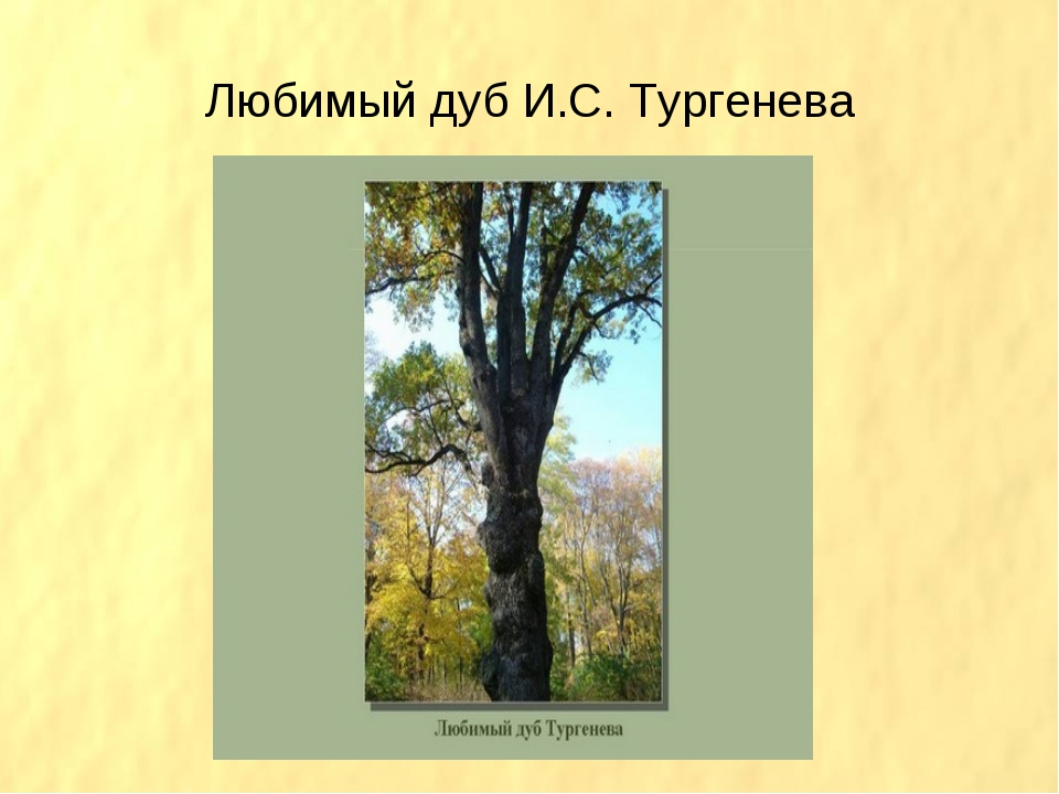 Любимый дуб И.С. Тургенева