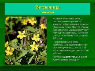 Ветреница Анемона «Анемос» означает ветер, потому что его цветок на тонком ст