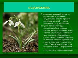 Подснежник Молочный цветок подснежник Его называют молочный цветок, по окраск