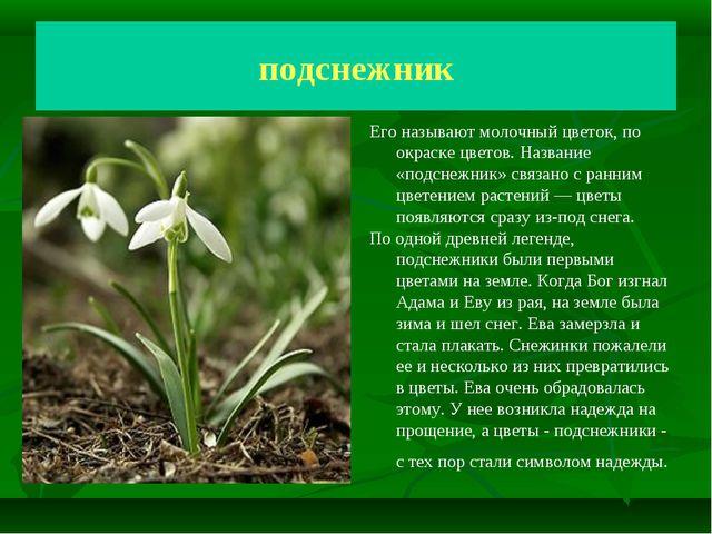 Подснежник Молочный цветок подснежник Его называют молочный цветок, по окраск...