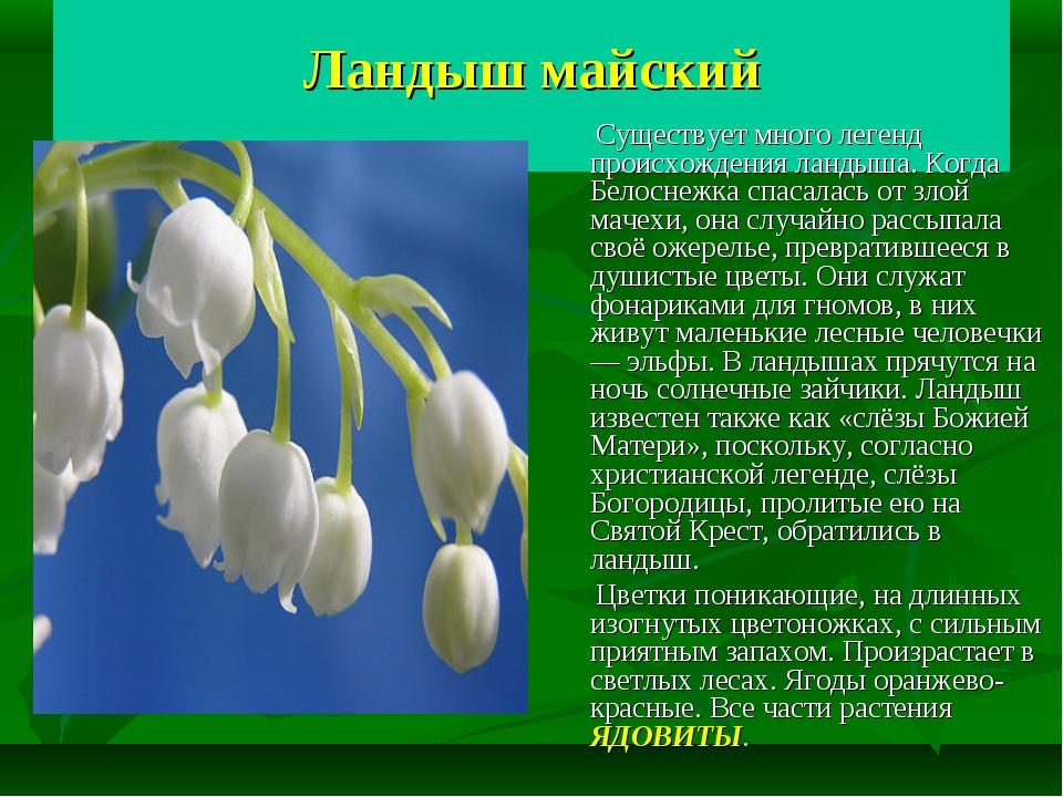 Ландыш майский Существует много легенд происхождения ландыша. Когда Белоснеж...