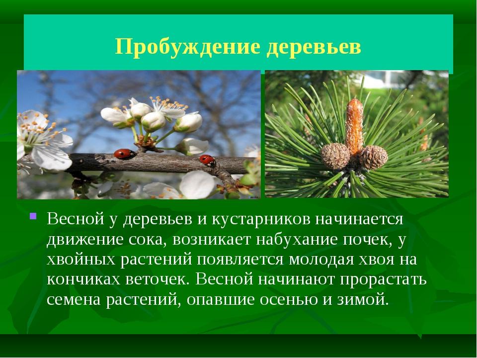 Пробуждение деревьев Весной у деревьев и кустарников начинается движение сока...