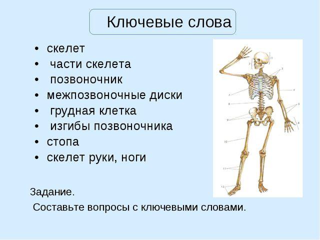 Ключевые слова скелет части скелета позвоночник межпозвоночные диски грудная...