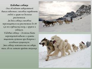 Ездовые собаки Они обладают невероятной выносливостью, способны перевозить