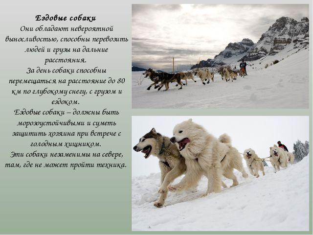 Ездовые собаки Они обладают невероятной выносливостью, способны перевозить...