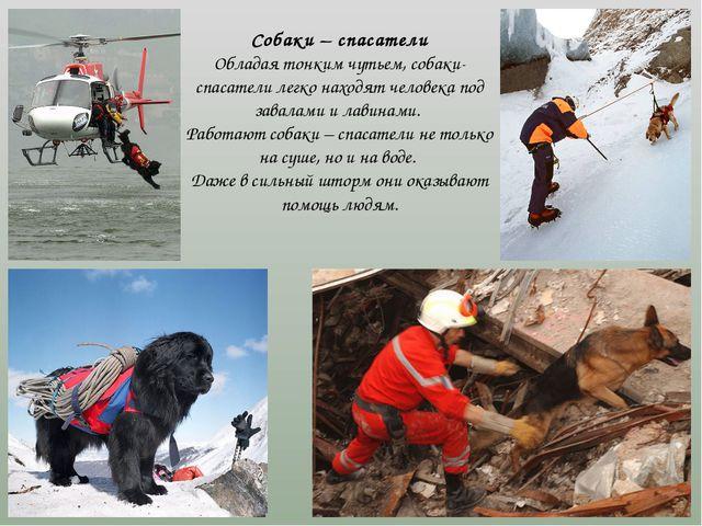 Собаки – спасатели Обладая тонким чутьем, собаки-спасатели легко находят чел...