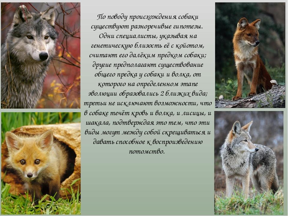 По поводу происхождения собаки существуют разноречивые гипотезы. Одни специа...