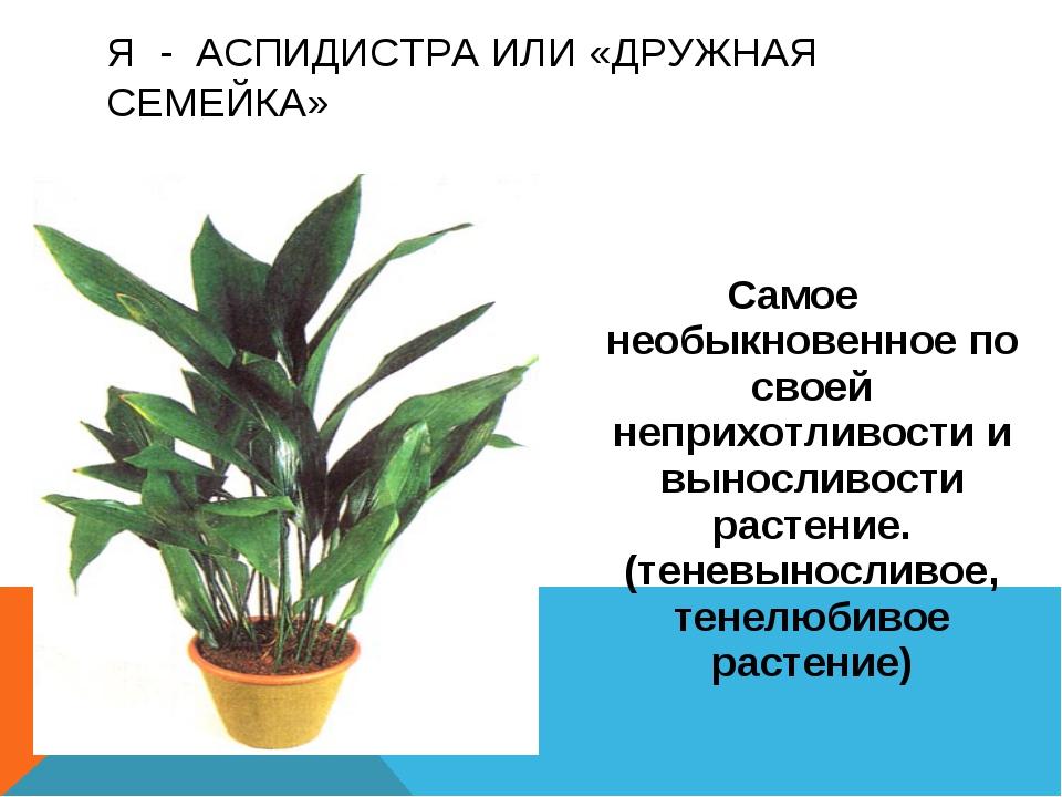 Самое необыкновенное по своей неприхотливости и выносливости растение. (тенев...