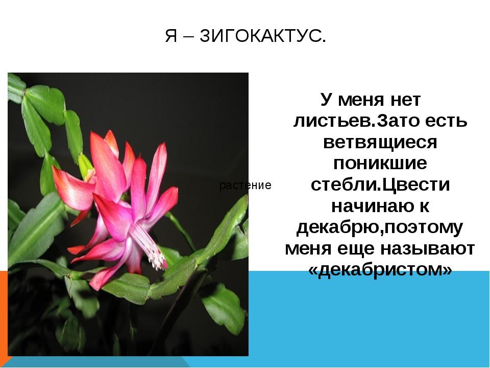 Декабрист цветы и описание