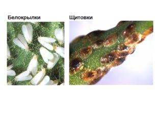 Белокрылки Щитовки