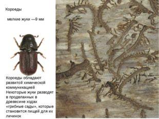 Короеды мелкие жуки —9мм Короеды обладают развитой химической коммуникацией