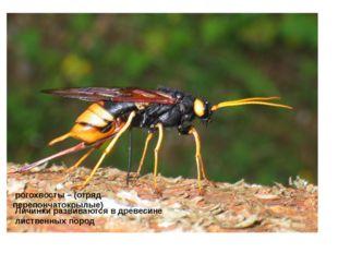 рогохвосты – (отряд перепончатокрылые) Личинки развиваются в древесине листв