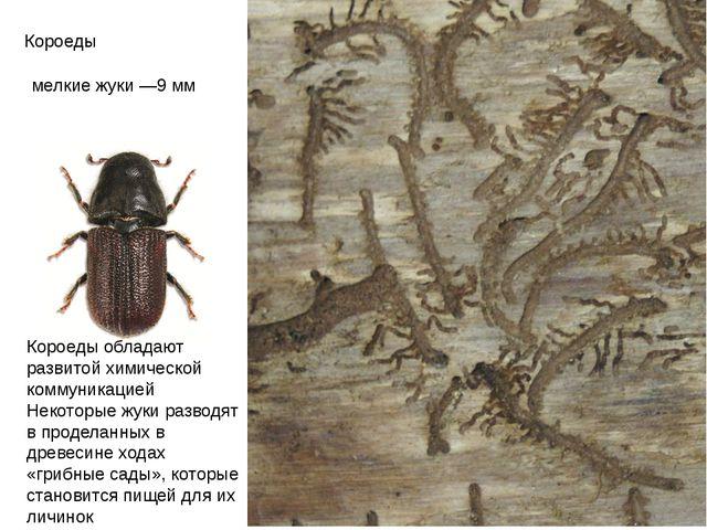 Короеды мелкие жуки —9мм Короеды обладают развитой химической коммуникацией...