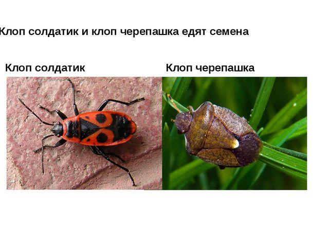 Клоп солдатик Клоп черепашка Клоп солдатик и клоп черепашка едят семена