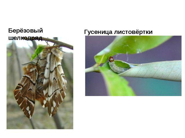 Гусеница листовёртки Берёзовый шелкопряд