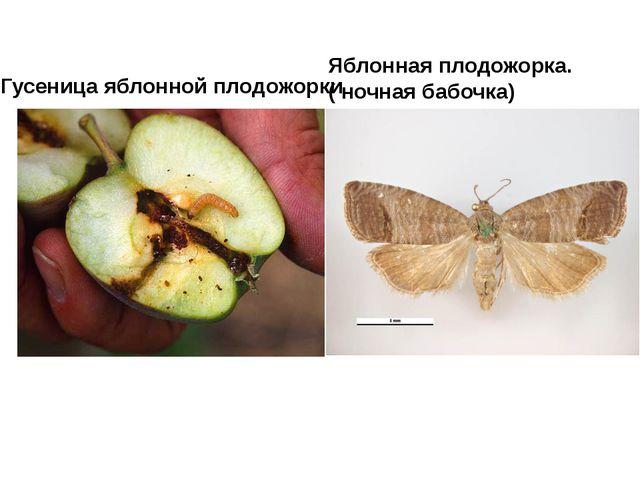 Яблонная плодожорка. ( ночная бабочка) Гусеница яблонной плодожорки