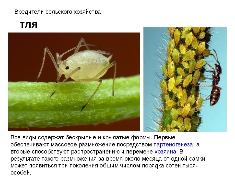 Вредители сельского хозяйства тля Все виды содержат бескрылые и крылатые форм...