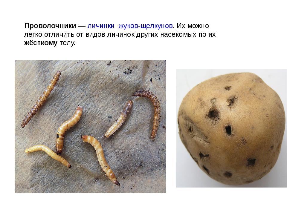 Проволочники—личинкижуков-щелкунов. Их можно легко отличить от видов личи...