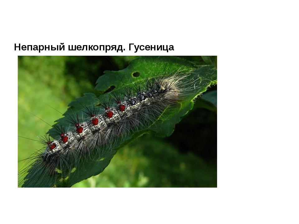 Непарный шелкопряд. Гусеница