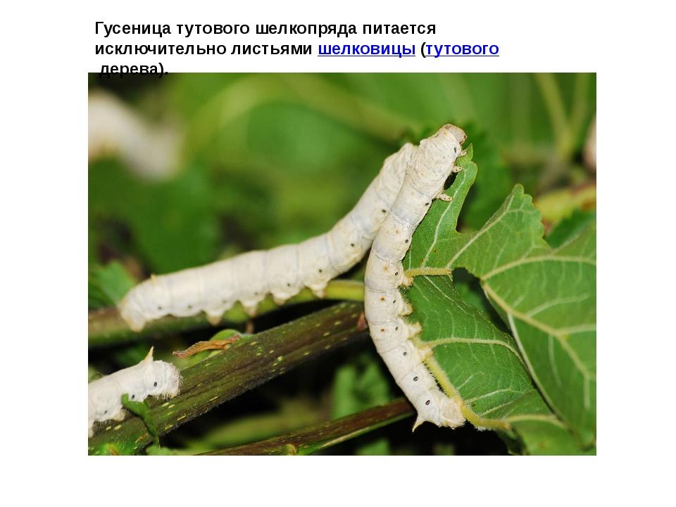 Гусеница тутового шелкопряда питается исключительно листьямишелковицы (тутов...