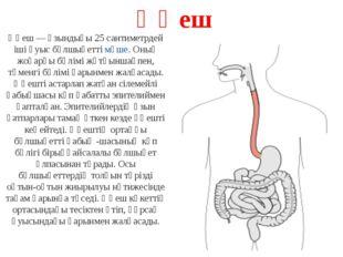 Өңеш Өңеш — ұзындығы 25 сантиметрдей іші қуыс бұлшықеттімүше. Оның жоғарғы б