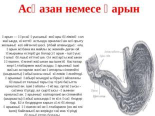 Қарын — құрсақ қуысының жоғары бөлімінің сол жағында, көкеттің астында орнала