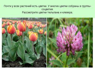 Почти у всех растений есть цветки. У многих цветки собраны в группы- соцветия
