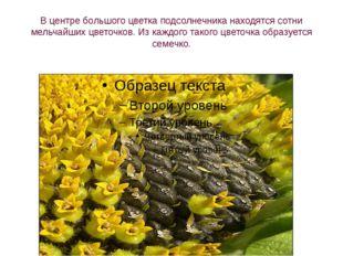 В центре большого цветка подсолнечника находятся сотни мельчайших цветочков.
