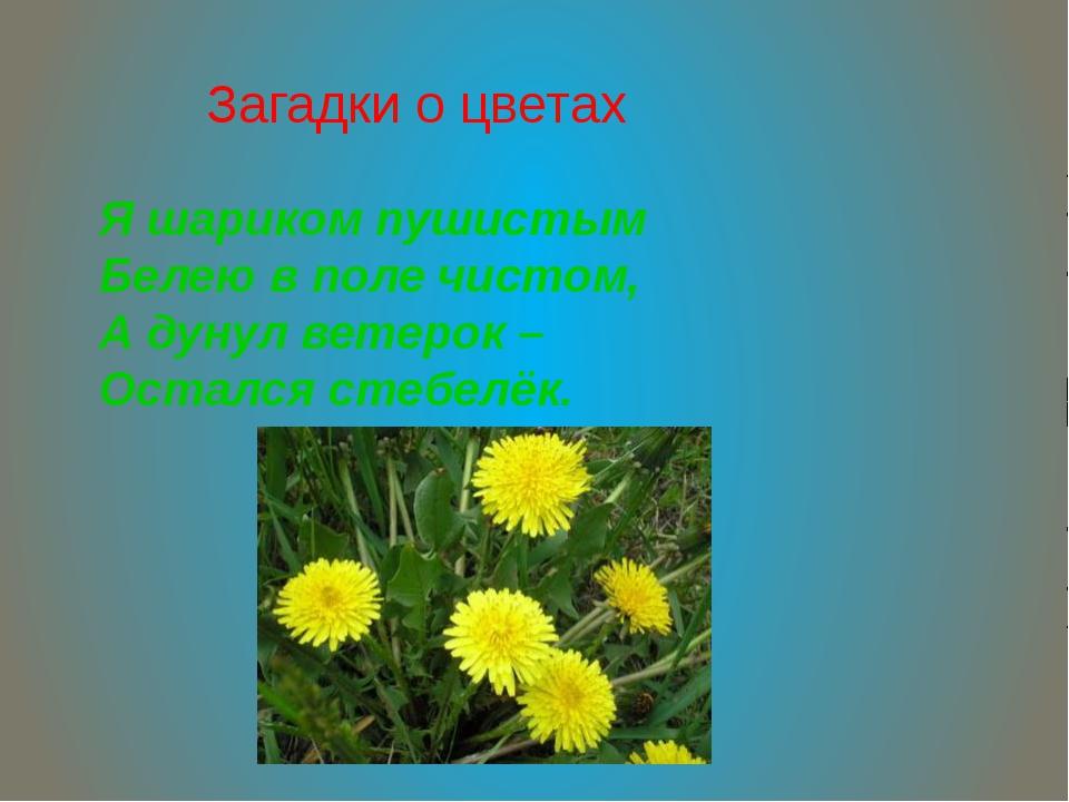 Загадки о цветах Я шариком пушистым Белею в поле чистом, А дунул ветерок – Ос...