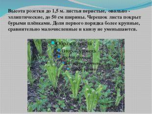 Высота розетки до 1,5 м. листья перистые, овально - эллиптические, до 50 см ш