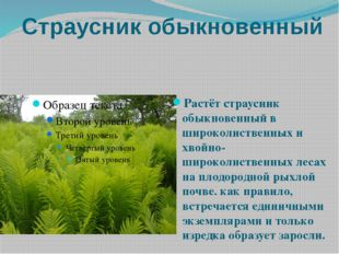Страусник обыкновенный Растёт страусник обыкновенный в широколиственных и хво