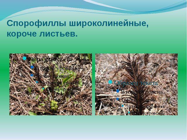 Спорофиллы широколинейные, короче листьев.