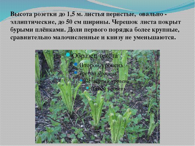 Высота розетки до 1,5 м. листья перистые, овально - эллиптические, до 50 см ш...