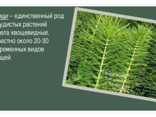 Хвощи – единственный род сосудистых растений отдела хвощевидные. Известно око