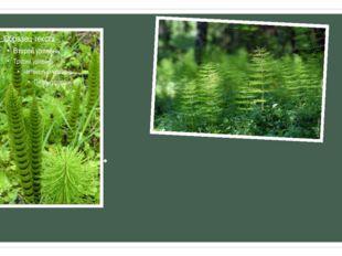 Характерной особенностью всех видов хвоща является наличие метамерии стеблей,