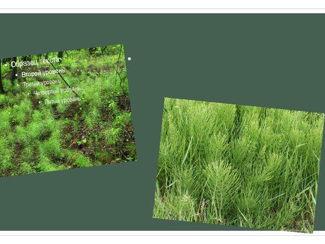 Все современные виды хвощей являются многолетними травянистыми растениями с п...