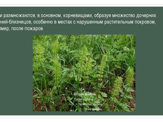 Хвощи размножаются, в основном, корневищами, образуя множество дочерних расте...
