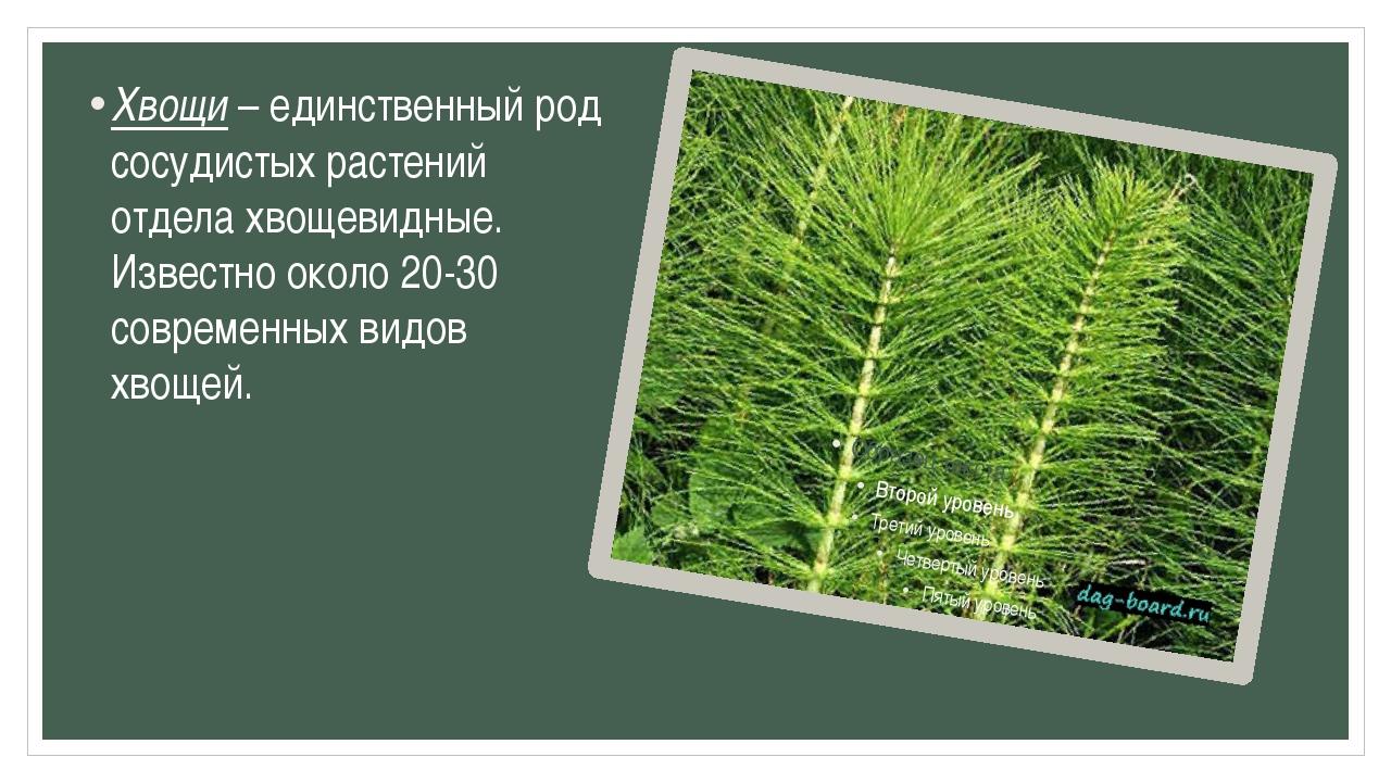 Хвощи – единственный род сосудистых растений отдела хвощевидные. Известно око...