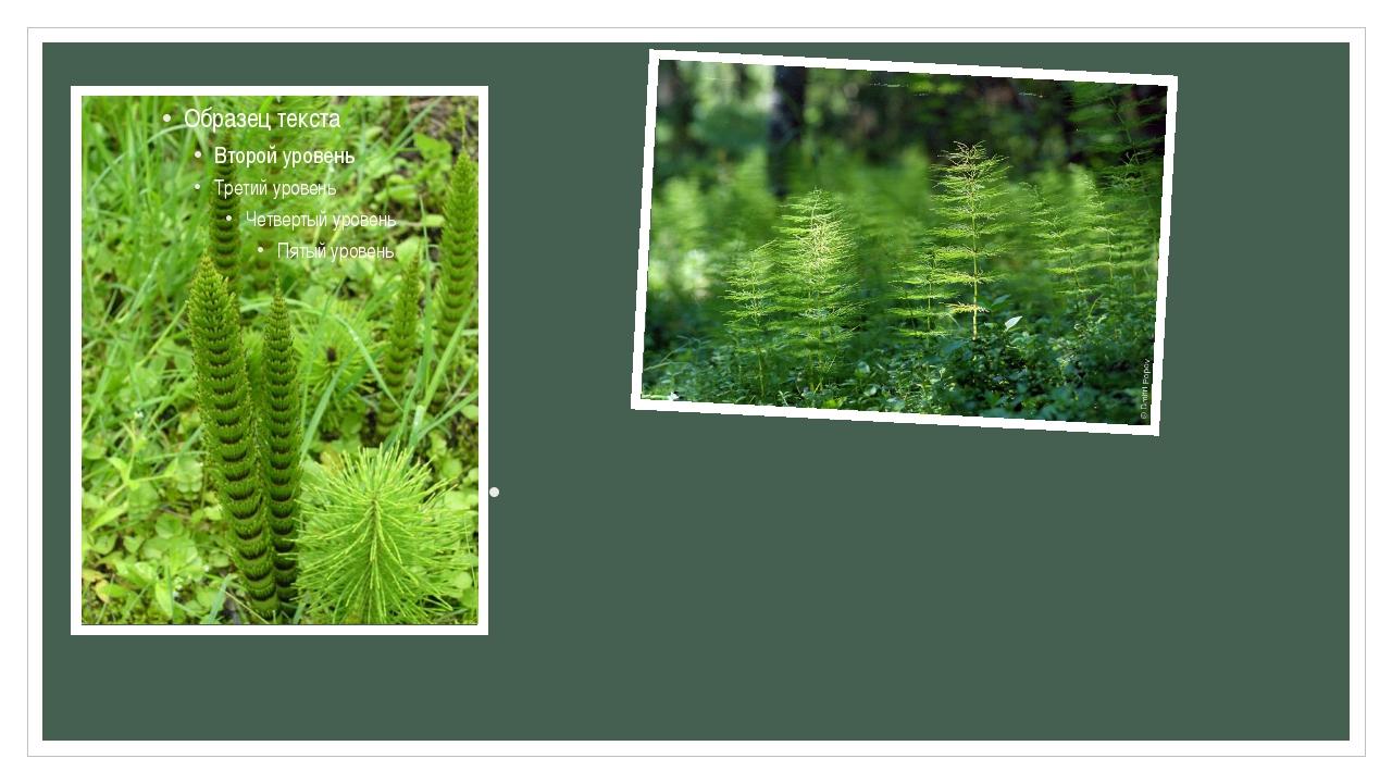 Характерной особенностью всех видов хвоща является наличие метамерии стеблей,...