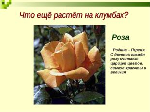 Роза РРодина – Персия. С древних времён розу считают царицей цветов, символ к