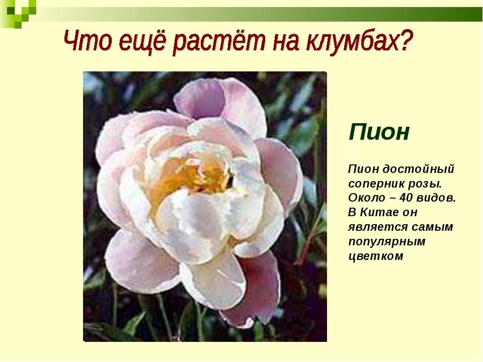 Пион П Пион достойный соперник розы. Около – 40 видов. В Китае он является са...
