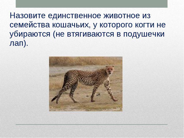 Назовите единственное животное из семейства кошачьих, у которого когти не уби...