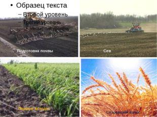 Сев Первые всходы Созревший колос Подготовка почвы
