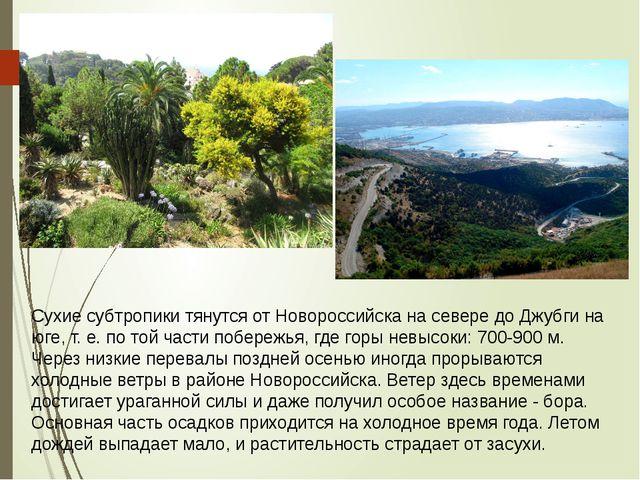 Сухие субтропики тянутся от Новороссийска на севере до Джубги на юге, т. е. п...