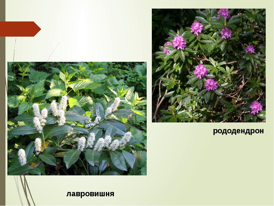 лавровишня рододендрон