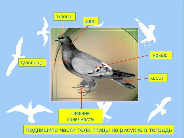 голова шея крыло туловище Нижние конечности хвост Подпишите части тела птицы...