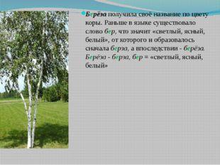 Берёза получила своё название по цвету коры. Раньше в языке существовало слов