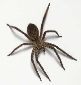 http://slaviy.ru/wp-content/uploads/2011/03/brazilian-wandering-spider1-286x300.jpg