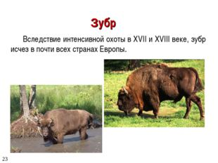 Зубр Вследствие интенсивной охоты в XVII и XVIII веке, зубр исчез в почти все
